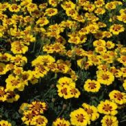 Marigold Naughty Marietta - French type - Appx 100 seeds
